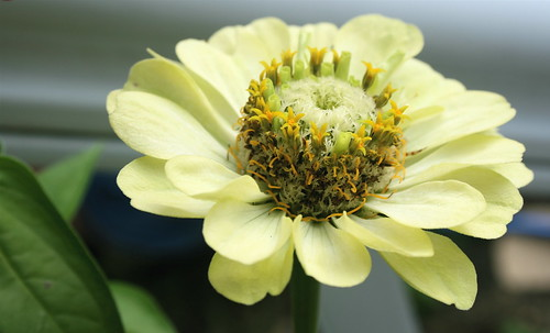 Green zinnia photo. Copyright Jen Baker/Liberty Images; all rights reserved.