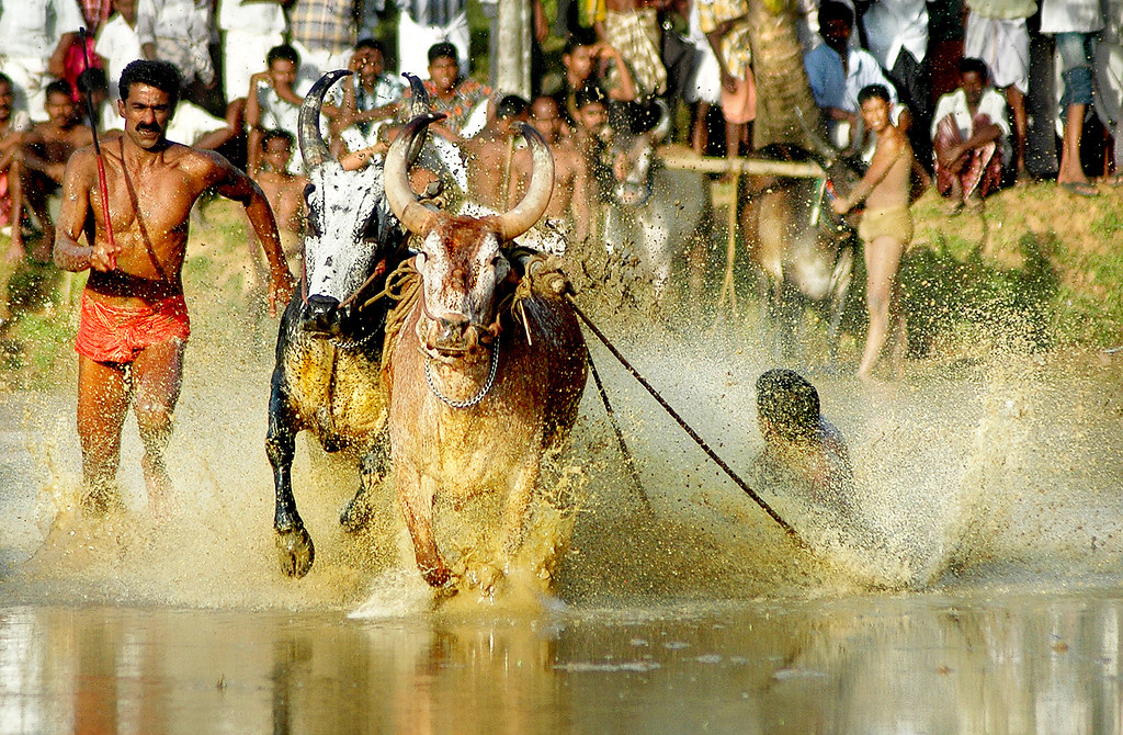 Bull racing at frantic pace