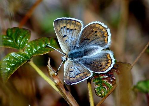 Lycaena heteronea Blue Copper (female)