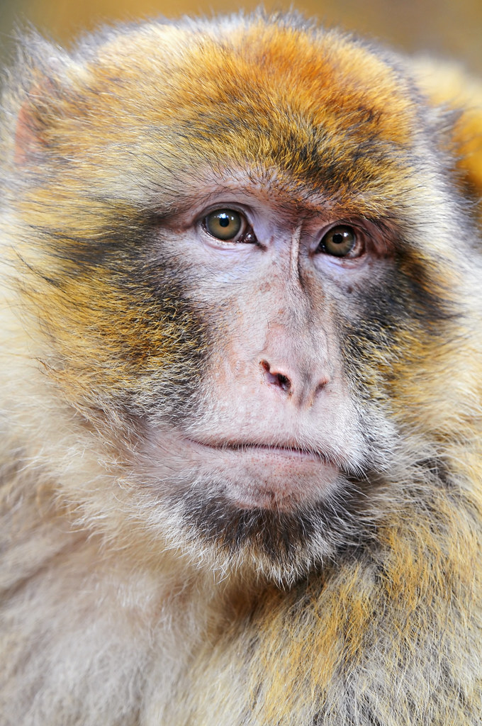 Portrait of a macaque