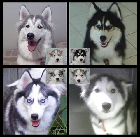 Huskimo Puppies Update Above Is An Update Of My