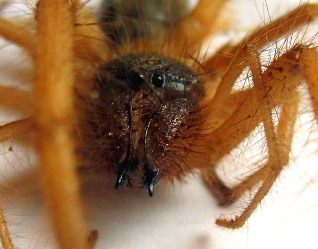 Arachnid Solifugae Red Roman Spider Flickr Photo