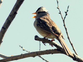 White-crowned Sparrow singing