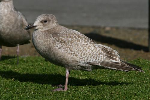 First Winter Thayer's Gull