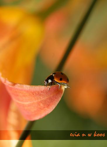 Ladybug on tiger lily