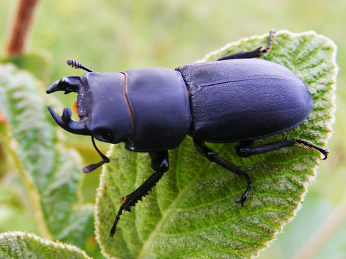Lesser Stag Beetle, Farthing Downs
