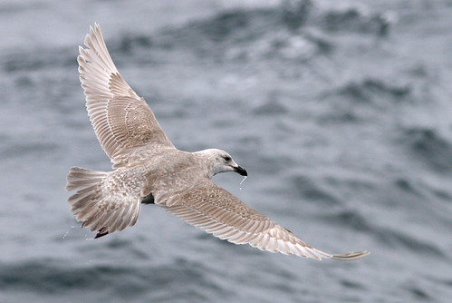 1st winter Glaucous-winged Gull