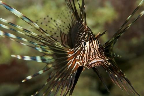 Lionfish - Pulau Weh, Indonesia