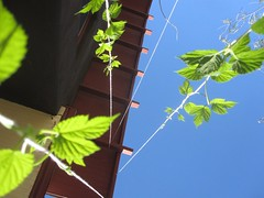 hops growing well - 11