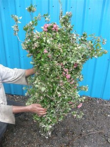 Double Pink Flowering Hawthorne