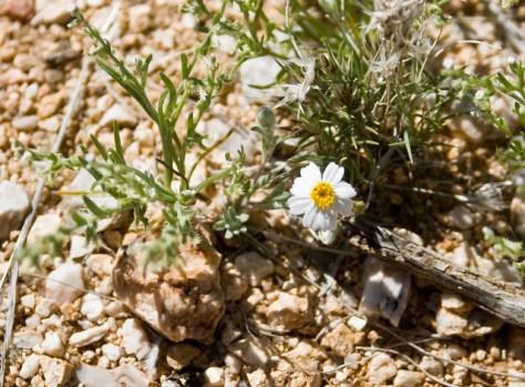 monoptilon bellioides or Mojave Desertstar