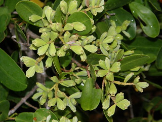 Mangle blanco (Laguncularia racemosa)