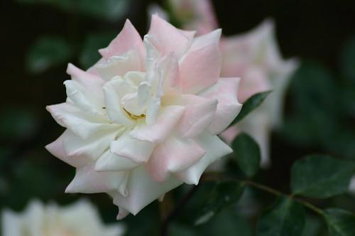Tidewater Rose, Rosa