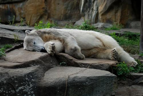 Eisbär Knut im Zoo Berlin