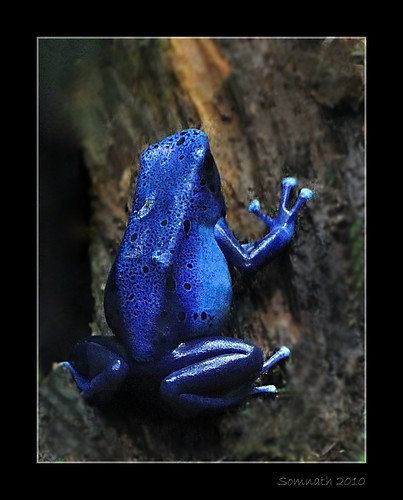Blue Poison Dart Frog (Dendrobates azureus) by Somnath Mukherjee Photoghaphy