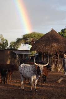 Mozambican cows and rainbow