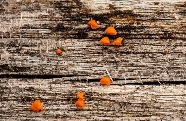 Jelly fungus on a fence rail