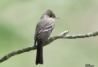 Eastern Wood-pewee by Kelly Colgan Azar