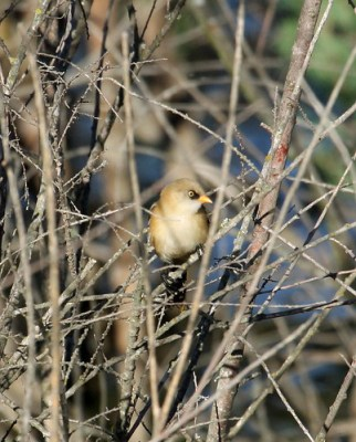 Juvenile male Bearded Reedling (Panurus biarmicus) in branches