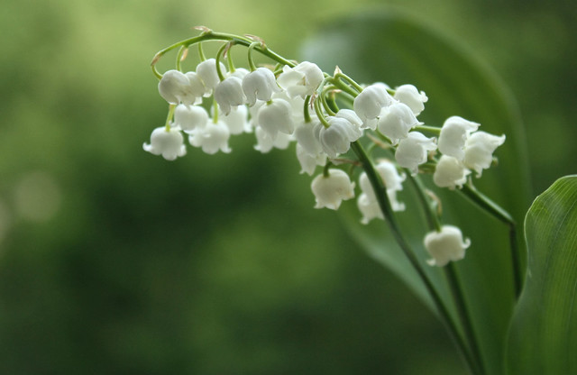 muguet - lily of the valley