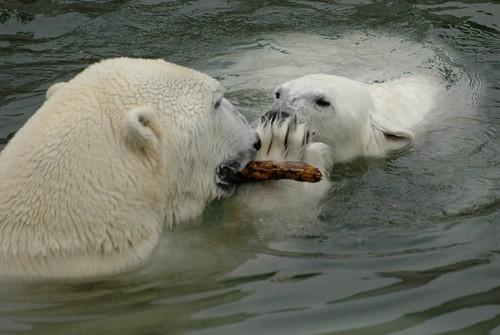 Eisbären Venus und Manasse im Zoo Ranua