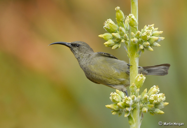 Sunbird female on Kalanchoe luciae flowers