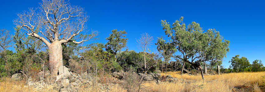 Baobab im Gregory Nationalpark