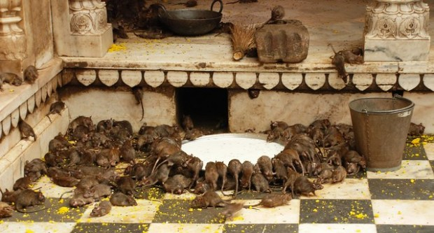 Rats Got Milk