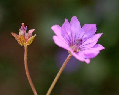 Geranium molle (Dove's-Foot Crane's-Bill) - 11 - flower