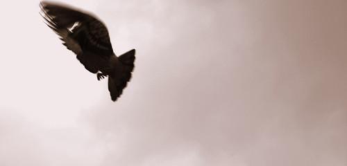 Taube (Bearbeitet) por mengcompany