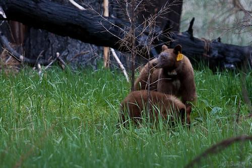 Mama Bear #31