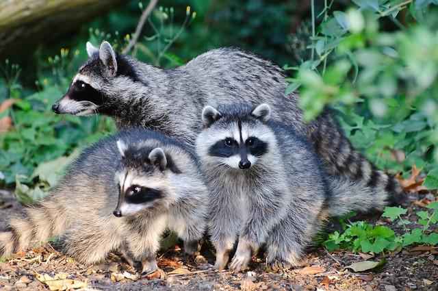 Raccoon family unit