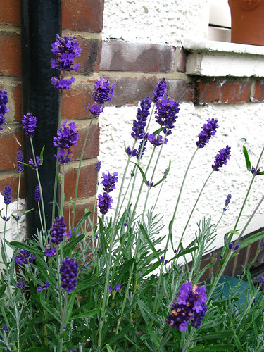 Imperial gem lavender, self seeded and transplanted