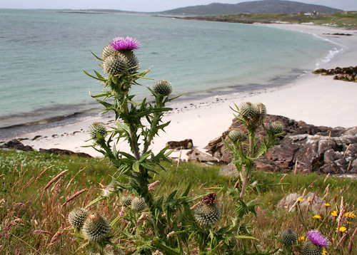 Thistles and Prince Charlie's beach, Eriskay