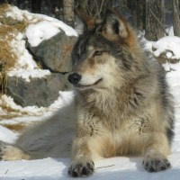 Protecting the Gray Wolf