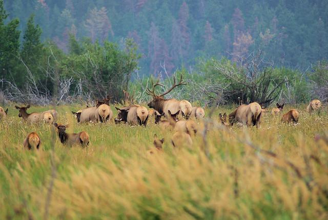 Elk herd, Moraine Park meadow, Rocky Mountain National Park, August 31, 2009