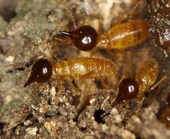 0692 Soldier Termites