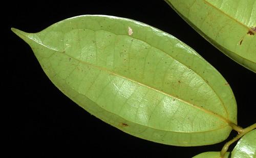 Cryptocarya pleurosperma NS DSC_0997 (2)