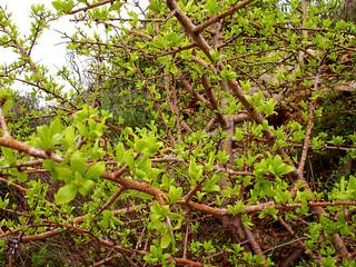 thorny sage-leafed pear tree