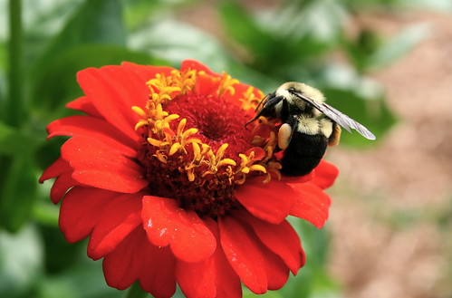 Bumblebee and orange-red zinnia. Photo copyright Jen Baker/Liberty Images; all rights reserved.