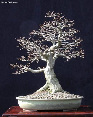 top-bonsai-gallery-l-41