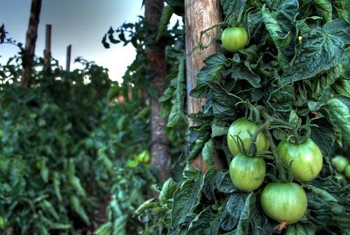Tomates robledanos