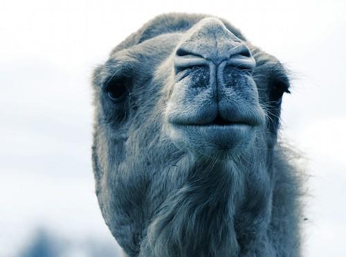 Camel by Doug Wheller
