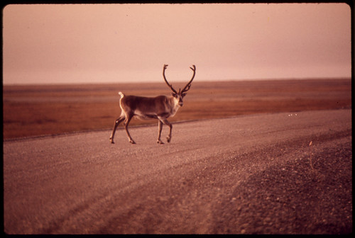 Young Bull Caribou Crosses Gravel Roadway near Mile 0 08/1973