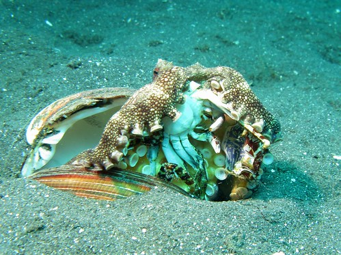 Veined Octopus - Amphioctopus Marginatus eating a Crab