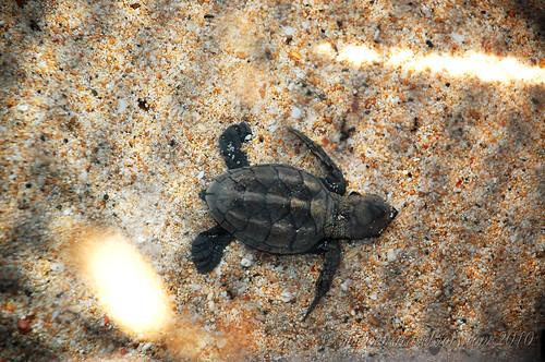 A baby hawksbill turtle, Helicopter Island, El Nido, Palawan