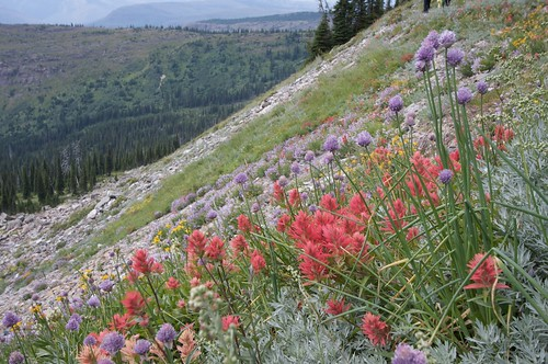 Paintbrush and Wild Chives -- Glacier National Park