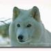 ~Arctic Wolf ~