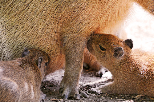 Suckling capybaras