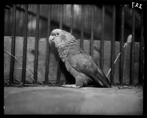 Parrot by The Field Museum Library